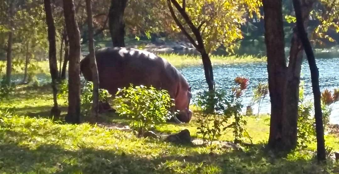 Lotri Bay, Lake Kariba, Zambia - Hippo