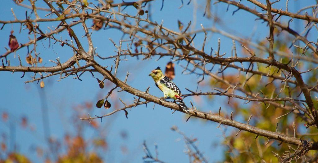 Lotri Bay, Lake Kariba, Zambia - Crested Barbet