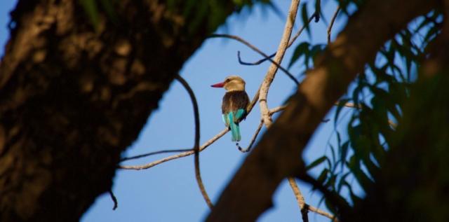 Lotri Bay, Lake Kariba, Zambia - Kingfisher