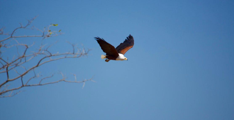 Lotri Bay - Fish Eagle