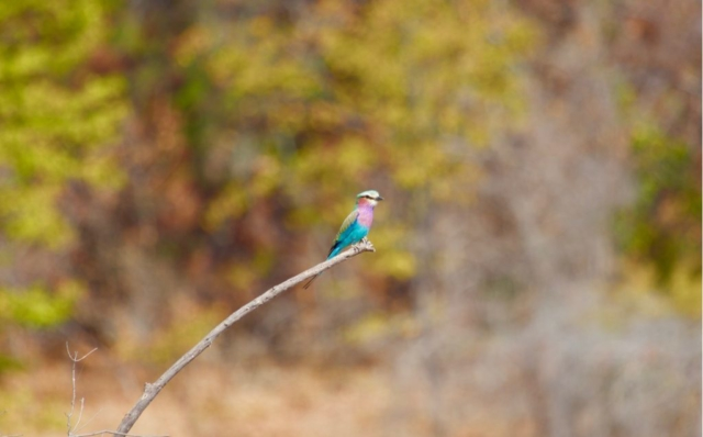 Lotri Bay, Lake Kariba, Zambia - Lilac Breasted Roller