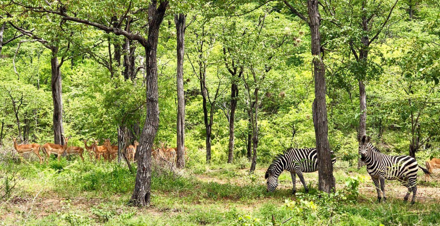 Lotri Bay, Lake Kariba, Zambia - Zebra and Impala