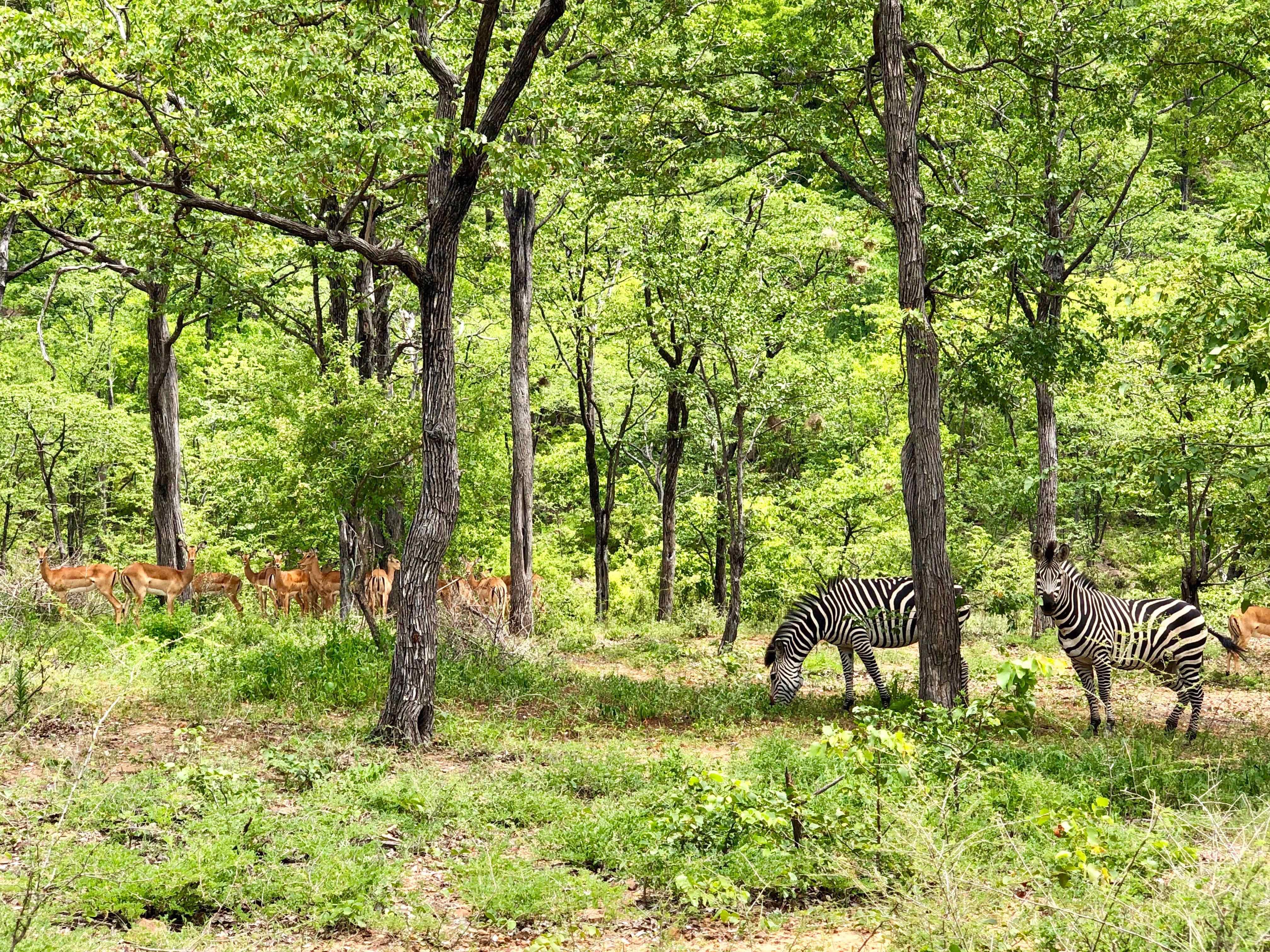 Lotri Bay, Lake Kariba, Zambia - Zebras and Impala
