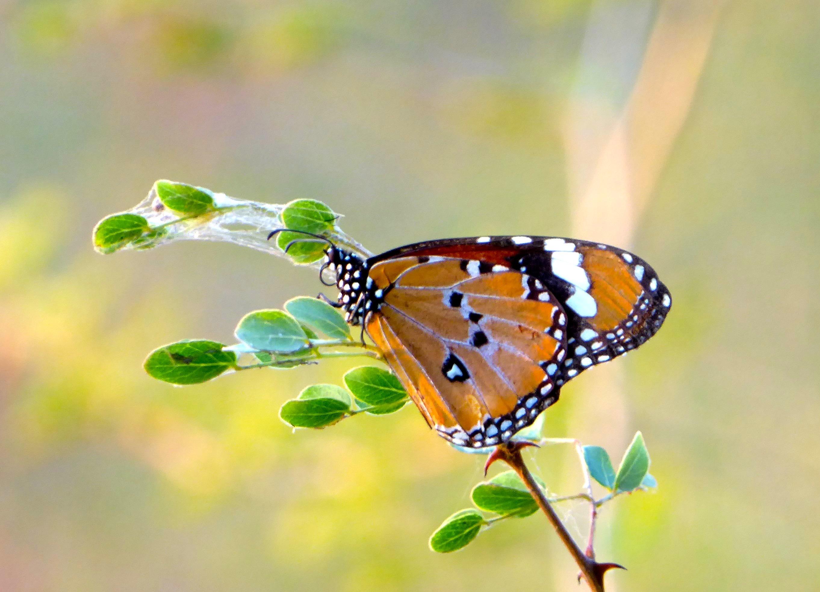 Lotri Bay, Lake Kariba, Zambia - Butterfly