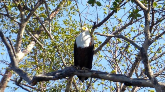 Lotri Bay, Lake Kariba, Zambia - Fish Eagle