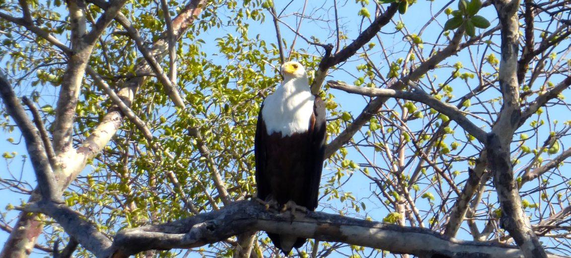 Lotri Bay, Zambia, Lake Kariba - Fish Eagle