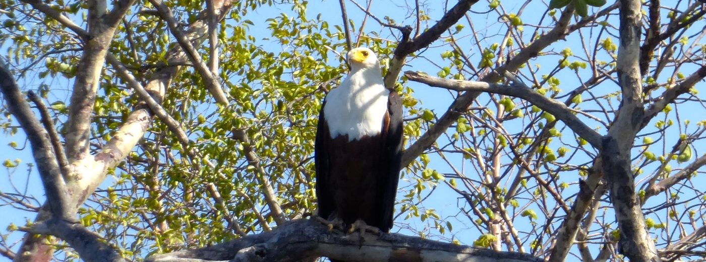 Lotri Bay, Zambia, Lake Kariba - Fish Eagle
