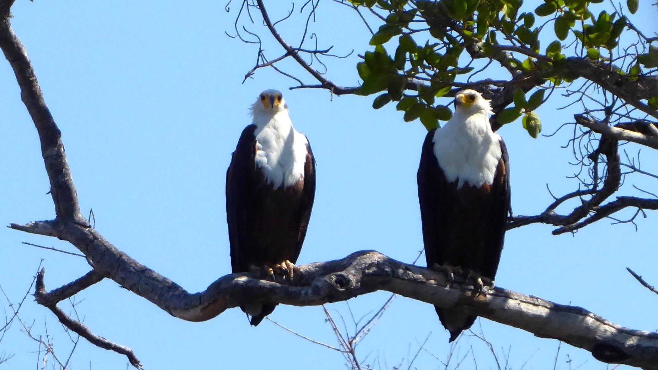 Lotri Bay, Lake Kariba, Zambia - Fish Eagles