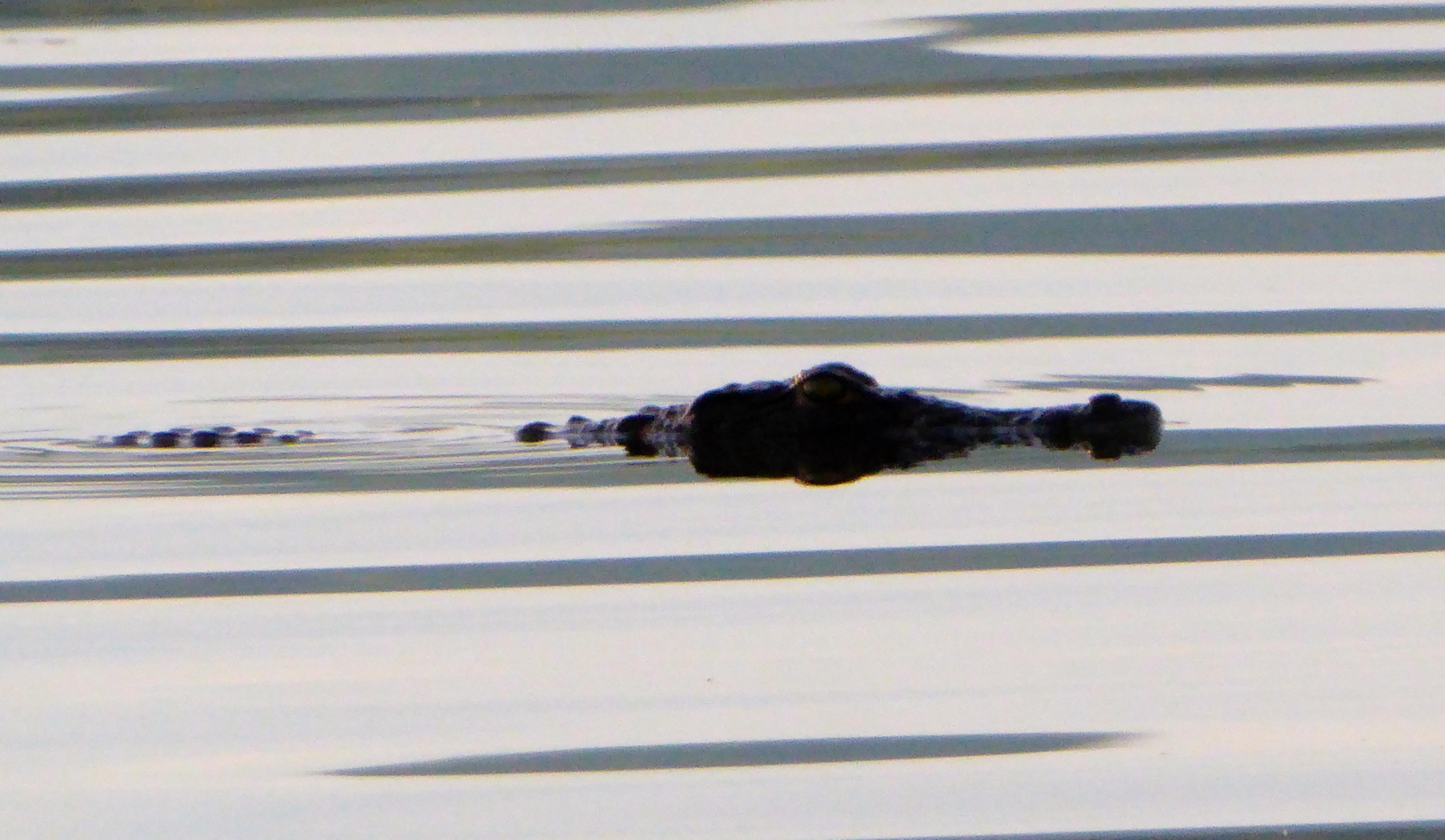 Lotri Bay, Lake Kariba, Zambia - Crocodile