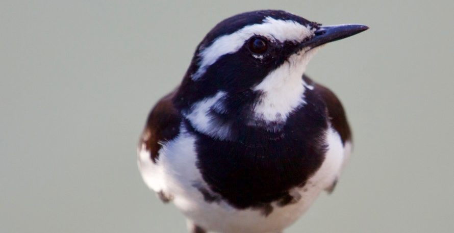 Lotri Bay - Pied Wagtail