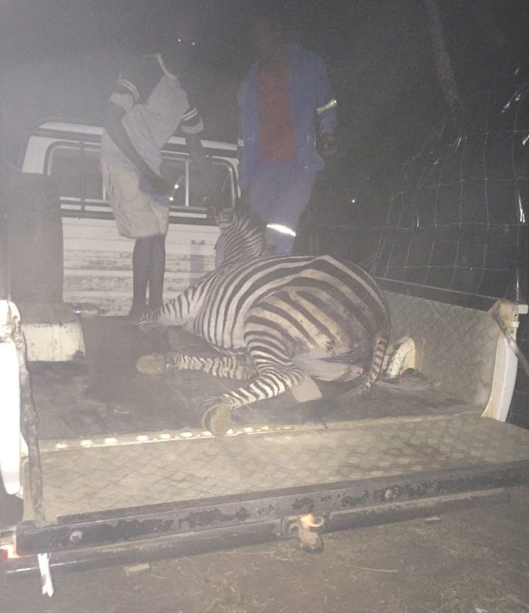 Lotri Bay - Zebra