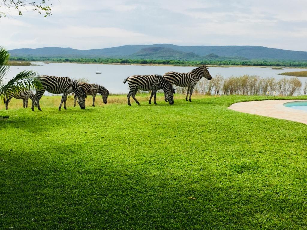 Lotri Bay, Lake Kariba, Zambia - Zebras